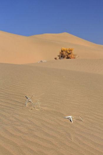 1211 unknown yellowish autumnal dry shrub-badain jaran desert-clear blue sky. inner mongolia-china.