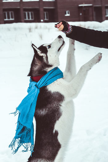 Adorable Alaskan Animal Beautiful Blue Blue Eyes Boy Breed Canine Cloak Cold Collar Companion Cute Cytologist Dog Dog Walking Domestic Encouragement Face Feed  Food Friend Fun Give Paw Good Husky Jump Kind Leash Nurture  Nurtured Obedient Outdoors Owner Park Pet Purebred Scarf Siberian Siberian Husky Snow Tame Team Training Walking Whip And Carrot Winter Woman Workout