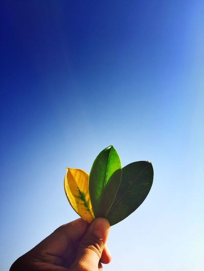 Beautiful natural leaves...🍂🍃🌿 Found On The Roll Holding Part Of Human Finger Leaf Studio Shot Freshness Unrecognizable People Close-up Flower Fragility Yellow Nature Blue Green Plant Beauty In Nature Outdoors Day Focus On Foreground Sky IPhoneography IMography IPhone Photography Iphonegraphy