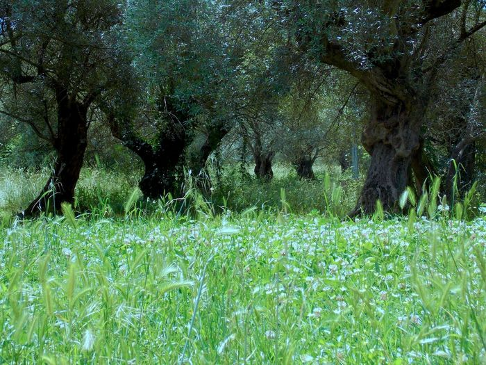 Beauty In Nature Day Field Grass Green Color Growth Landscape Nature No People Olive Trees Outdoors Plant Scenics Summer Garden Tivoli Villa Adriana Tranquility Tree