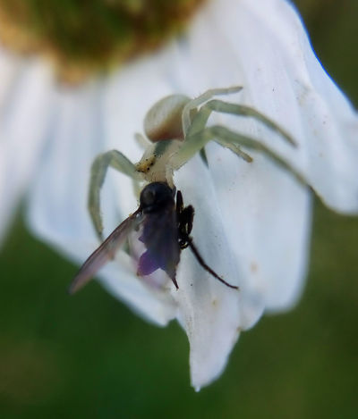 The last look from eyes to eyes ... Details Of Nature Flower Flower Head Fly Insect Killer Macro Macro Insects Macro Photography Meadow Misumena Vatia Nature Outdoors Petal Plant Spider Spider Catching Fly... Spider Eating