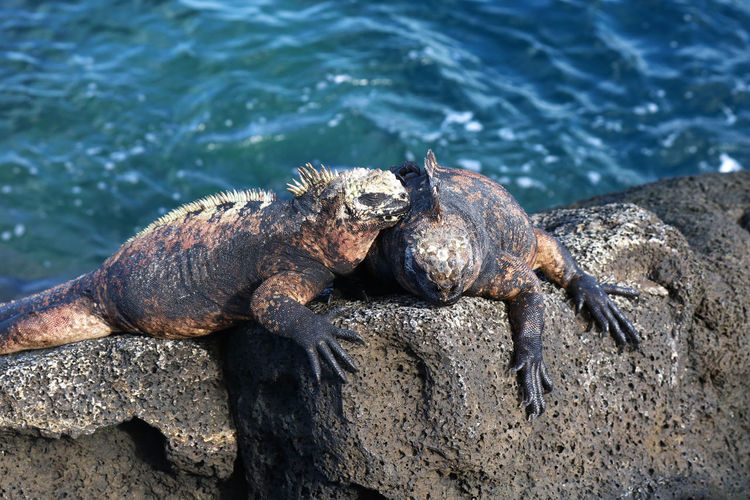 Two Galapagos Marine Iguanas resting in the sun Galapagos Animal Themes Animal Wildlife Animals In The Wild Beach Close-up Cuddling Day Ecuador Iguana Island Marine Iguana Marine Life Nature No People One Animal Outdoors Reptile Rock - Object Sea Selective Focus Sunbathing Two People Water Waterfront