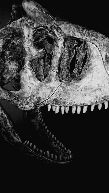 EyeEmNewHere EyeEm Best Shots One Animal Animal Body Part Bones Museum Dinosaur History EyeEmBestPics EyeEm Selects Edit Close-up Nature No People Blackandwhite Black Background Museum Of Natural History Nature Night Tour Tourist Lima-Perú Dinosaur Bones Bones Museum Natural Beauty Black And White Friday