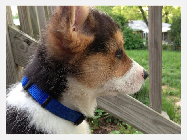 Pippin' baby picture Pippin, Corgi, Dog Cute Pets Dog Puppy