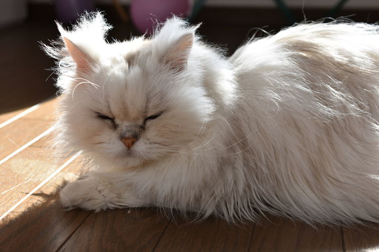 Close-up of white cat on floor