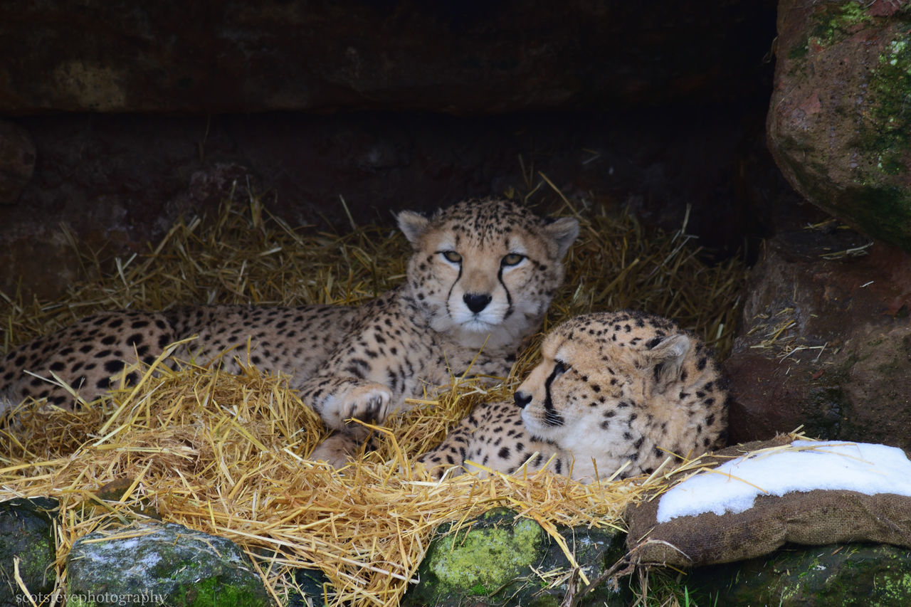 animal themes, animals in the wild, day, no people, mammal, outdoors, one animal, nature, close-up, leopard, cheetah