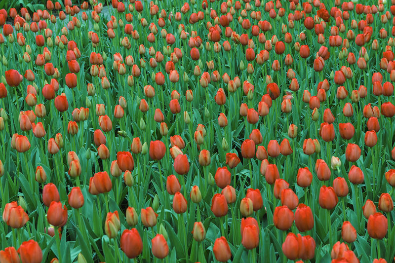 Freshness Plant Flower Abundance Growth Beauty In Nature Tulip Flowering Plant Orange Color Backgrounds Vulnerability  Full Frame No People Fragility Flower Head Day Close-up Nature Field Red Flowerbed