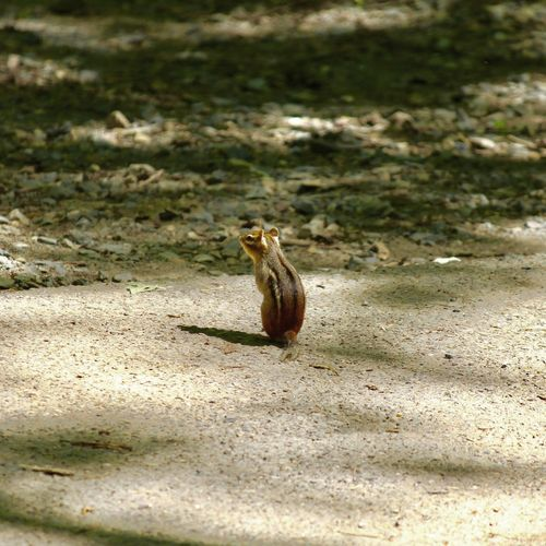 One Animal Animals In The Wild Animal Wildlife Animal Themes Day Nature Outdoors No People Sunlight Chipmunk Photography Chipmunk🐿 Chipmunk Pennsylvania
