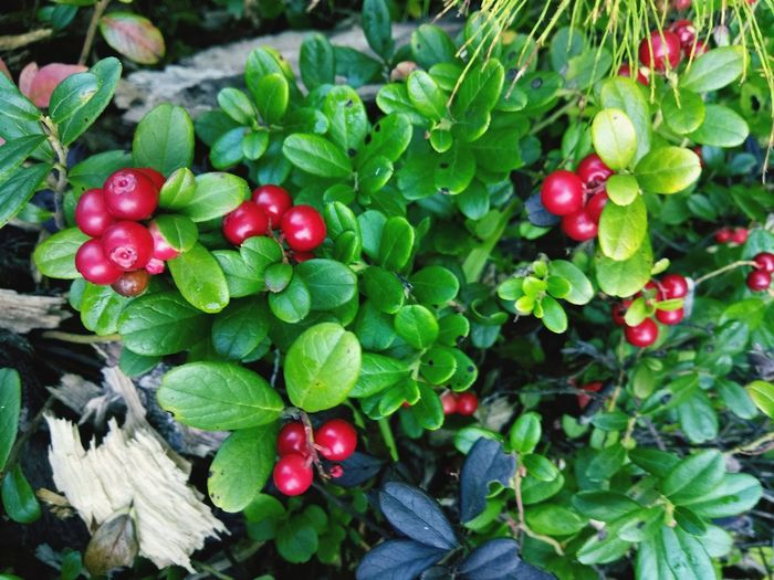High angle view of cherries growing on plant