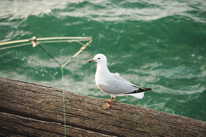 Seagull perching on wooden pier over sea