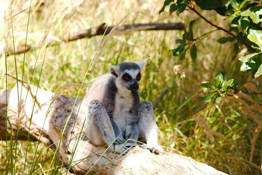 Ring-Tailed Lemur In The Shade Ring-tailed Lemur Animal Wildlife London Zoo Mammal Nature Primate Sitting