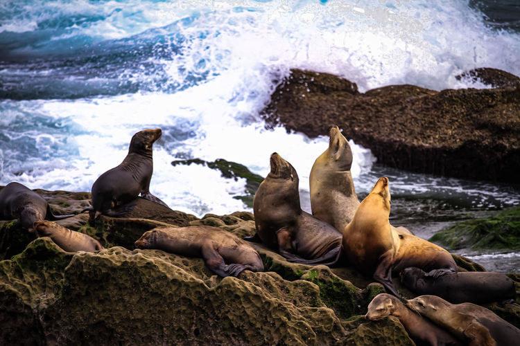 Sealions on rock in sea