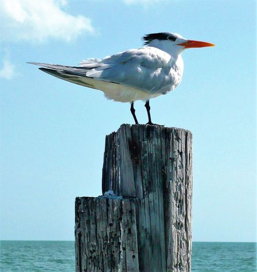 Möwe Animal Themes Animal Wildlife Animals In The Wild Beauty In Nature Bird Close-up Day Horizon Over Water Nature No People One Animal Outdoors Perching Sea Sky Water Wood - Material Wooden Post