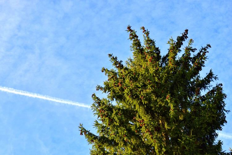 Vapor Trail Low Angle View Tree Contrail Nature Sky Day Beauty In Nature Blue No People Outdoors Growth Branch Fir Trees Fir Tree Fir Tree Trees Trees And Sky Nature Photography Beautiful Nature