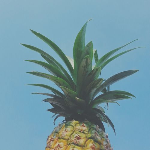 Tropical Paradise Tropical Fruits Minimalism Photography Minimal_perfection Minimalismo Minimalist Minimalism Minimal Minimalist Photography  Minimalmood Minimalobsession Minimalistic Minimalove Pineapple Skyporn Fruits Sky Blue Check This Out