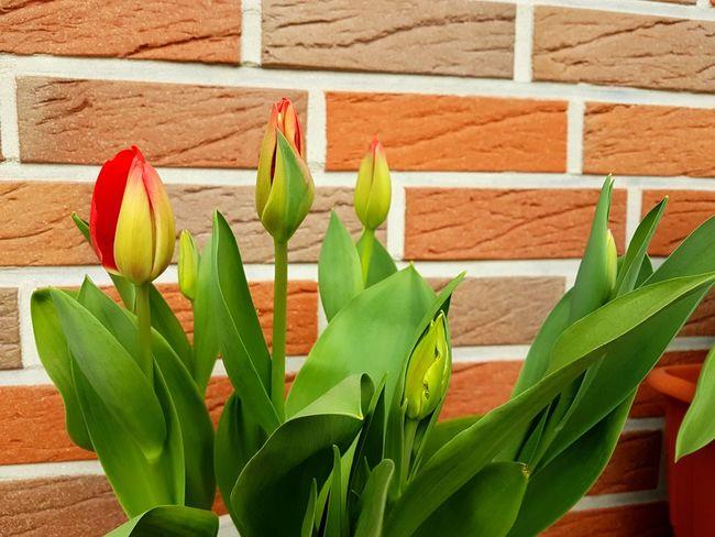 Flower Nature Close-up Tulipes.