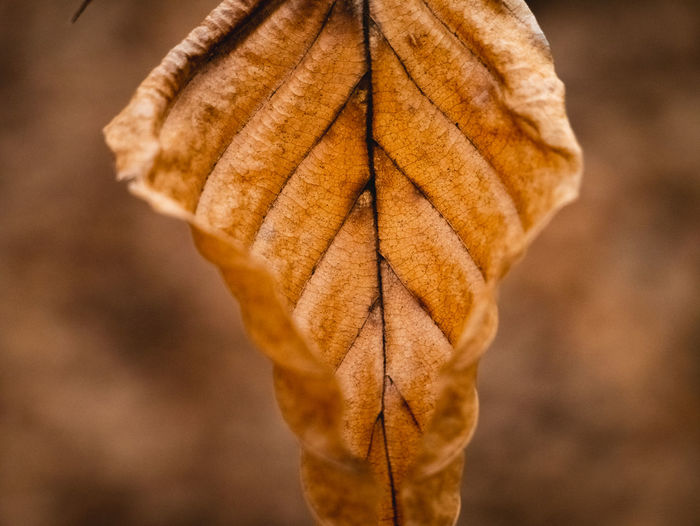 Leaf Plant Part Close-up Focus On Foreground Autumn Change Leaf Vein Day Dry No People Nature Plant Beauty In Nature Brown Vulnerability  Outdoors Fragility Natural Pattern Leaves Natural Condition