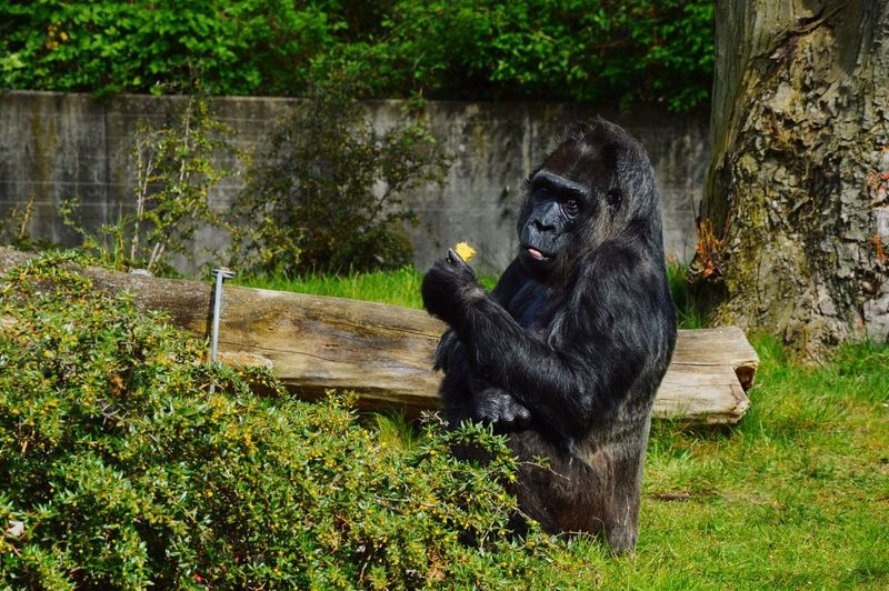 Gorilla sitting by plants on field at zoo