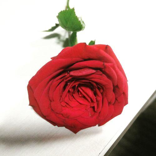 Red Color Flower Red Flower Head Freshness Fragility Rose - Flower Beautiful Roses♥♡ Indoors  Random Photo Time Lovelovelove