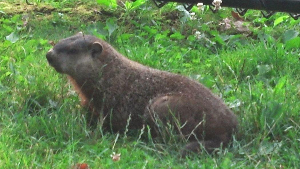 Groundhog One Animal Nature No People Animals In The Wild Outdoors Prairiedog Prairie Dogs Ground Hog Groundhog Day
