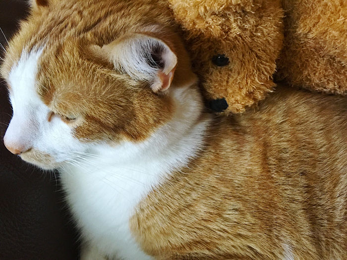 Close-Up Of Cat Relaxing With Teddy Bear On Sofa At Home