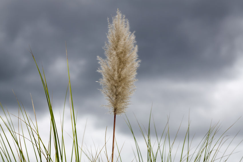 A single flower head tussock of pampas grass (Cortaderia) sits in the breeze against a background of dark storm clouds. Dark Sky Storm Tussock Beauty In Nature Close-up Cortaderia Day Field Freshness Grass Growth Nature No People Outdoors Pampas Grass Plant Sky Storm Cloud Tranquility Weed