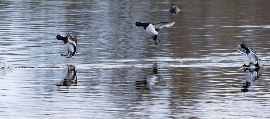 A hop, a skip and a jump. Tufted duck olympics Duck Ducks Tufted Duck Olympic Olympics Athlete Triple Jump Jumping Bird Birds Bird Photography Bird In Flight Duck In Flight Action Action Shot  Bird Water Spread Wings Flying Lake Reflection