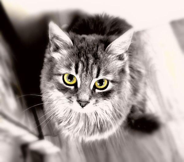 Pets Portrait Feline Domestic Cat Looking At Camera Defocused Eye Close-up