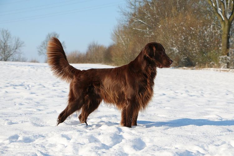 brown flat coated retriever is standing in the snow EyeEm Pets Field Nature Snow ❄ Standing Trees Animal Themes Brown Coated Cold Temperature Day Dog Domestic Animals Flat Flat Coated Retriever Mammal Nature No People One Animal Outdoors Pets Portrait Retriever Snow Winter
