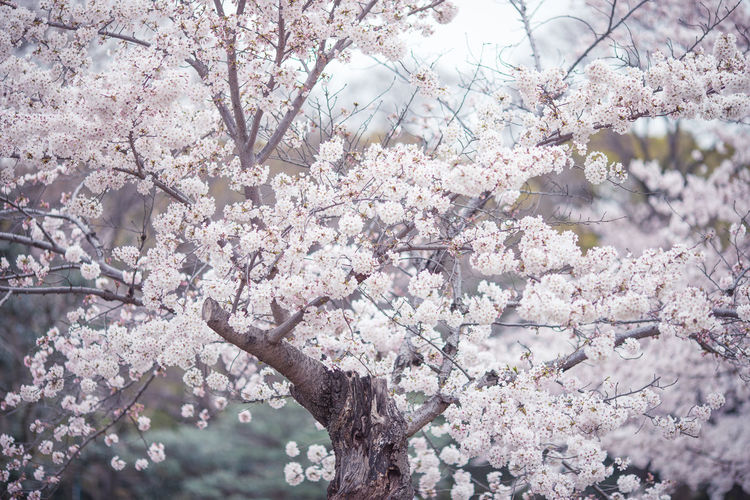 Cheery Blossoms Growing On Tree