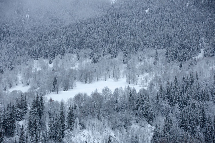 Aerial view of pine trees on snow covered land