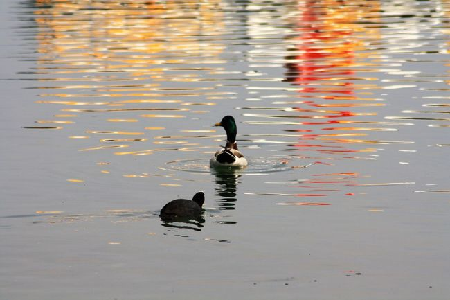 Animal Themes Animal Wildlife Animals In The Wild Beauty In Nature Bird Day Duck Lake Lake View Nature No People One Animal Outdoors Reflection Swimming Water Waterfront