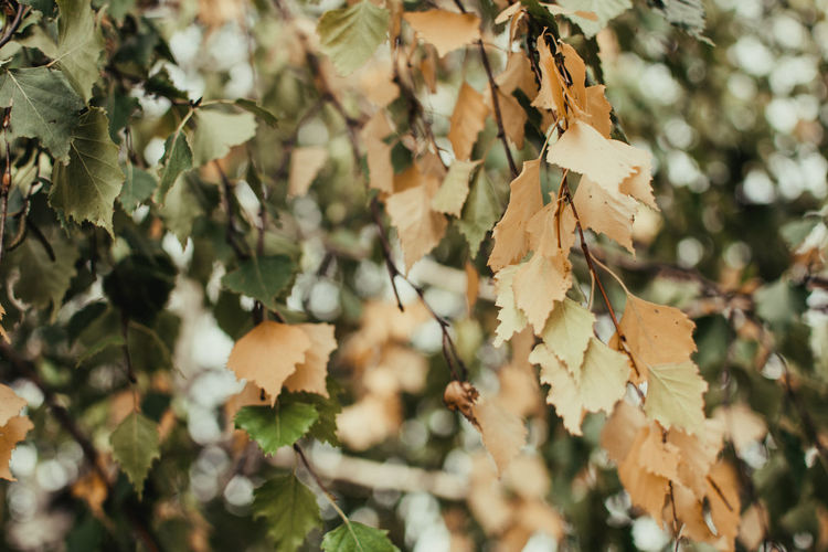 Close-up of autumn leaves on tree