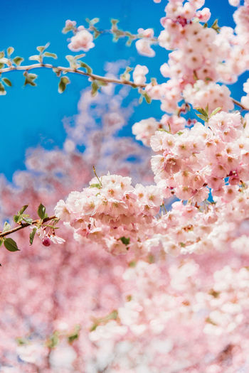 Cherry blossom sakura details. Bright Cherry Cherry Blossom Happy Beauty In Nature Blossom Blue Cherry Blossom Cherry Tree Flower Flowering Plant Fragility Freshness Growth Nature No People Outdoors Pastel Pink Color Plant Springtime Tree Vulnerability