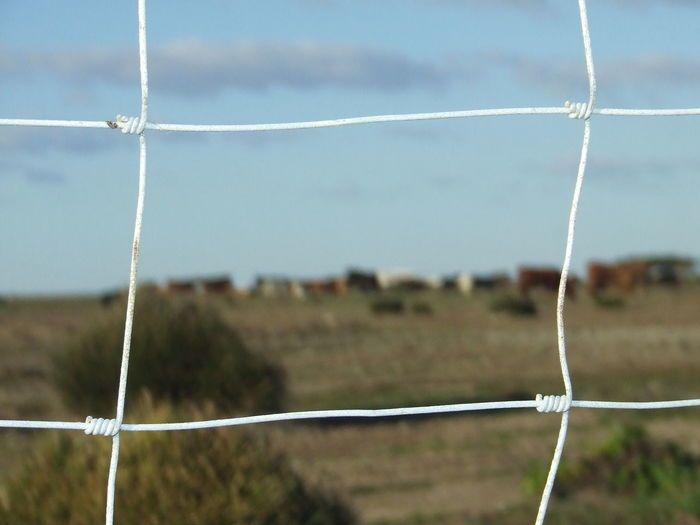 Barbed Wire Barbed Wire Fence Blue Sky Blue Sky And Clouds Cows Cows In Grassland Grass Grassland Grassland Under Sunlight Herding Joint Joints Knot Knots La Algaida Pinar De La Colonia Monte Algaida Plant