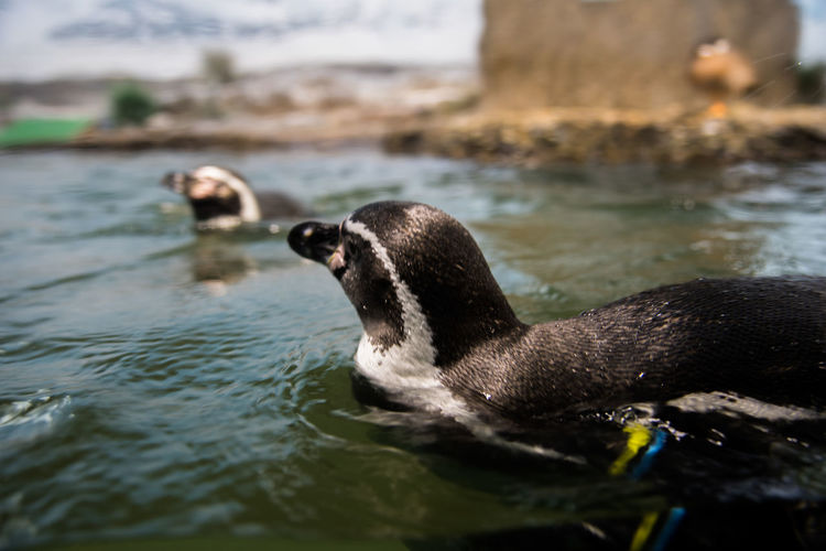 Close-Up Of Penguin Swimming At Zoo