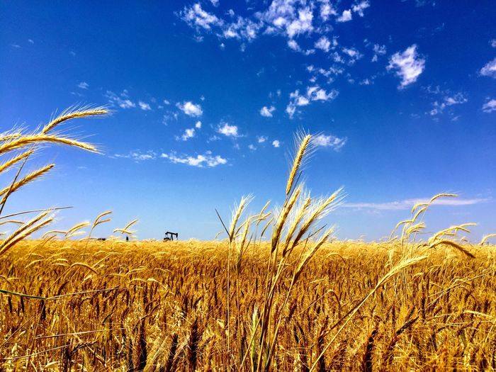 Growth Field Nature Agriculture Crop  Blue Sky Tranquility Tranquil Scene Day Beauty In Nature Cereal Plant Outdoors Plant No People Landscape Scenics Rural Scene Wheat Grass Texas Landscape Texas Skies Oil Wheat Field Petroleum Industry
