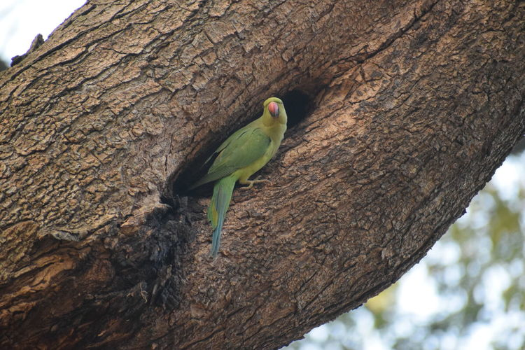 parrot.. laalbagh. Parrot Green NIKON D5300 Nikon Photography Nikon Nikonphotography Nikond5300 Photography No People Day Bird Perching Tree Parrot Rainbow Lorikeet Branch Tree Trunk Close-up