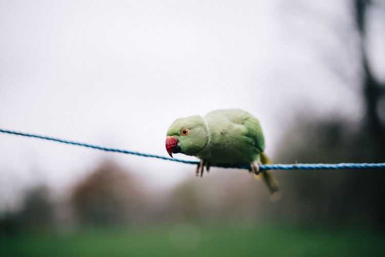 Parrot perching on rope