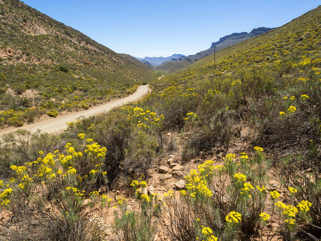 Bloom of wildflowers and dirt track in Cederberg Wilderness Mountain Area, South Africa Cederberg South Africa Beauty In Nature Cedarberg Clear Sky Day Landscape Mountain Mountain Range Nature No People Outdoors Road Scenics Sky Sunlight Tranquil Scene Tranquility Travel Destinations Tree Wild Flowers Winding Road