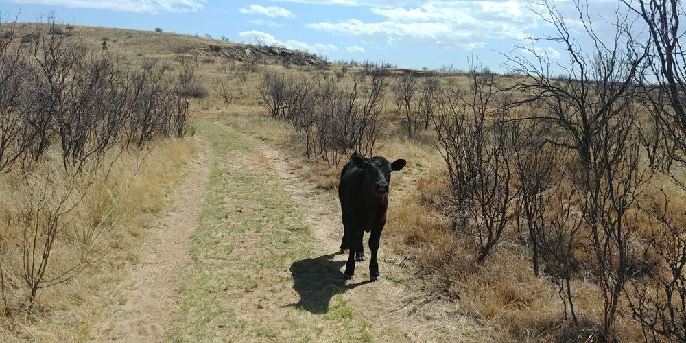 Cow Calf Follow Wildlofe Country Peace And Quiet Beauty In Nature Beauty In Ordinary Things Getting There Quite Time Desolate Rual Serene Men Pets Dog Road Full Length Walking Sky Grazing Herbivorous Domesticated Animal Tag Cattle Tire Track Dirt Track Livestock Cultivated Land