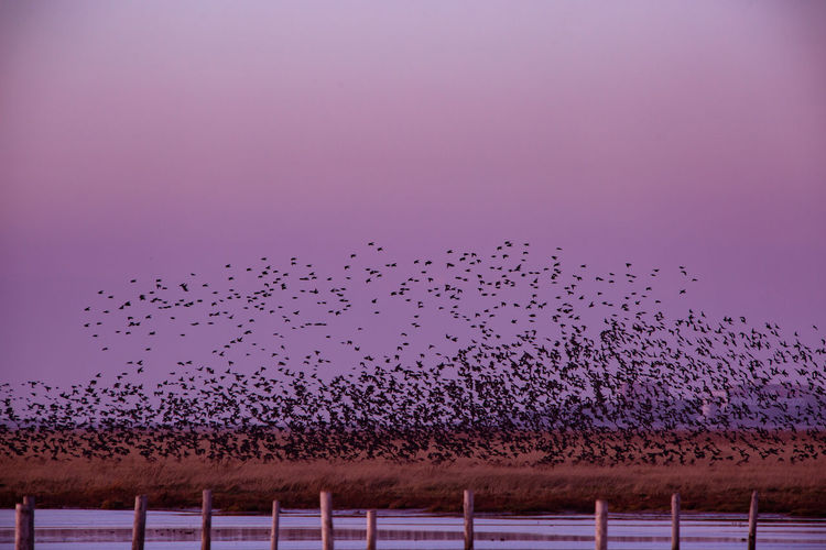 Animals In The Wild Animal Wildlife Flock Of Birds Large Group Of Animals Sky Bird Animal Themes Animal Group Of Animals Nature Motion Sunset Copy Space Low Angle View Vertebrate Flying Beauty In Nature No People Pink Color Sankt Peter-Ording
