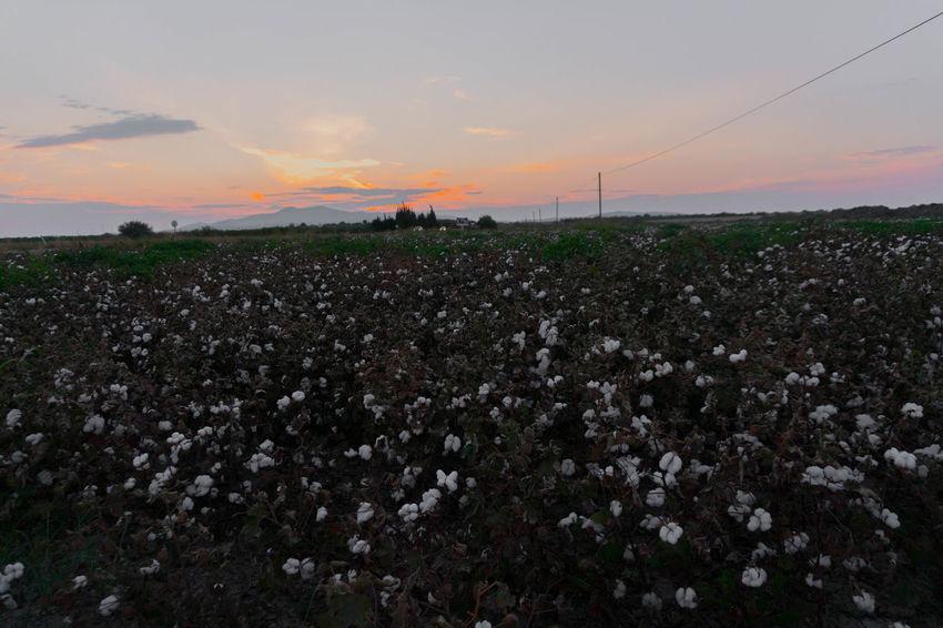Farm Life Farmland Beauty In Nature Cotton Cotton Field Cotton Plant Farming Growth Nature Plant Sunset White