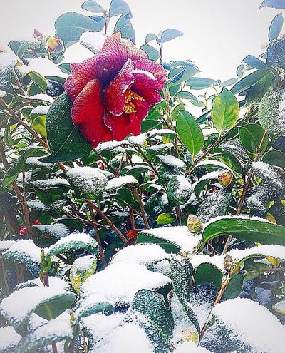 Flower Red Nature Leaf Plant Beauty In Nature No People Day Fragility Growth Winter Snow Flower Head Freshness Outdoors Close-up