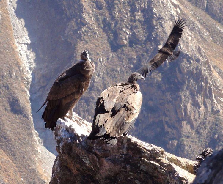 Peru Cóndor  Birds Male And Female Wildlife
