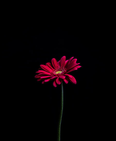 Flowering Plant Flower Freshness Vulnerability  Inflorescence Flower Head Beauty In Nature Fragility Studio Shot Indoors  Growth Nature Black Background Red Petal No People Pink Color Pollen Plant Close-up Copy Space Sepal Still Life