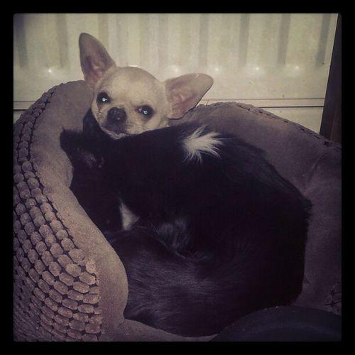 Day 5 -Tiny Photoadayapril Aphotoadayapril Chihuahua Cute Cuddles Instadogs Tinydogs