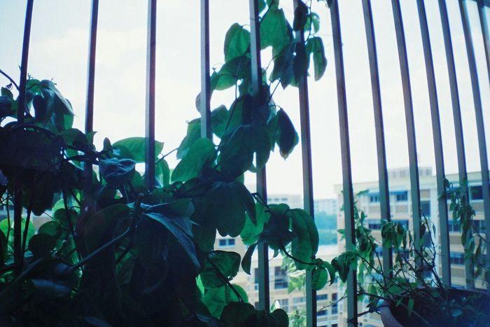 La Sardina 35mm Singapore Your Design Story Analogue Photography Analog Camera Analog Filmisnotdead Keep Film Alive Film Camera Analogue Love Analogue Vibes Film Photography Nature Lover Nature Photography Nature's Diversities
