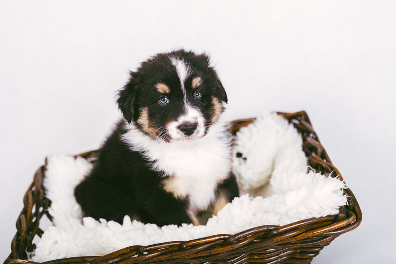 Close-up of a puppy against white background