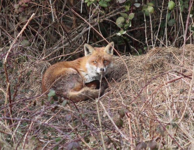Fox One Animal Mammal Animal Wildlife Animals In The Wild Vertebrate Plant Nature